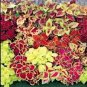 BULK - Dwarf COLEUS FAIRWAY MIX ground cover 5000+ seeds