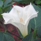 DATURA INOXIA white devil's trumpet 50 seeds