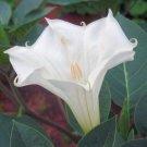 BULK DATURA INOXIA white devil's trumpet 500 seeds