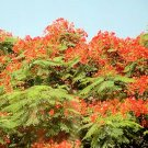 Delonix regia ROYAL POINCIANA FLAMBOYANT TREE extremly colorful 50 seeds