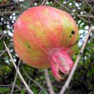 DWARF POMEGRANATE Punica granatum 50 seeds