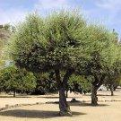 EUROPEAN OLIVE TREE - OLEA EUROPAEA perfect as bonsai 50 seeds