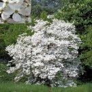 BULK FLOWERING DOGWOOD CORNUS FLORIDA 500 seeds