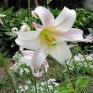 BULK Formosa LILY LILIUM FORMOSANUM very fragrant 1000 seeds