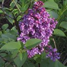 FRENCH LILAC SYRINGA VULGARIS extremly fragrant 50 seeds