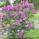 BULK FRENCH LILAC SYRINGA VULGARIS extremly fragant 1000 seeds