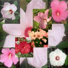 Hardy Hibiscus 7 color shades, mixed package 20 seeds