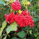 BULK Highbush AMERICAN CRANBERRY Viburnum Trilobum 500 seeds