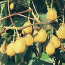 KIWI FRUIT   ACTINIDIA CHINENSIS 100 seeds