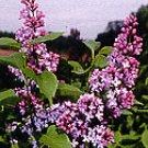 LATE LILAC SYRINGA VILLOSA extremly fragrant 75 seeds