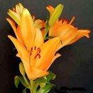 BULK - LILIUM AMABILE pretty and rare 50 seeds