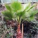 MEXICAN FAN PALM WASHINGTONIA ROBUSTA 50 seeds