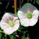 CONVOLVULUS SEPIUM Morning Glory pale pink 50 seeds