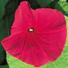 IPOMOEA NIL Morning Glory Scarlet o Hara All-America winner 10 seeds