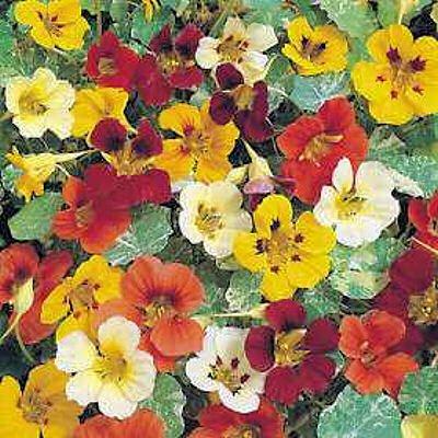 NASTURTIUM JEWEL OF AFRICA MIX flowers to eat 10 seeds