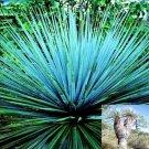 BULK NOLINA NELSONII, NELSONS'S BLUE BEAR GRASS 500 seeds