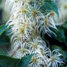 BULK White CLEMATIS VIRGINIA fully hardy 100 seeds