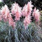 PAMPAS GRASS PINK Cortaderia jubata 250+ seeds