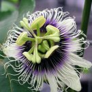 BULK - PASSIFLORA EDULIS sp. FLAVICARPA yellow fruit Passion vine 50 seeds