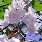 BULK - PRINCESS TREE paulownia tomentosa 2500+ seeds