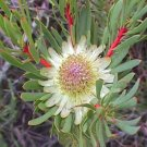 Protea Scolymocephala, Thistle Sugarbush 5 seeds