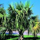 BULK SABAL MINOR DWARF BLUESTEM PALMETTO cold hardy 500 seeds