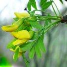 BULK SIBERIAN PEASHRUB - CARAGANA ARBORESCENS 500 seeds