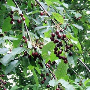 Sweet Cherry Prunus Avium Mazzard Cherry 50 seeds