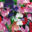 BULK SWEET PEA Lathyrus odoratus royal family mix 2000 seeds