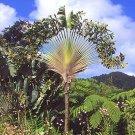 BULK TRAVELERS PALM Ravenala madagascariensis 50 seeds