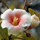TUNG OIL TREE ALEURITES FORDII china wood tree 20 seeds