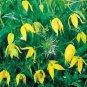 YELLOW CLEMATIS TANGUTICA 'Radar love' 50 seeds