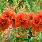 BULK FLOWERING QUINCE Chaenomeles Japonica BONSAI 50 seeds