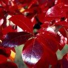 Nyssa sylvatica Black gum tupelo sourgum 10 seeds