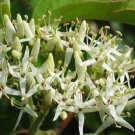 BULK Silky Dogwood swamp dogwood cornus amomum 100 seeds
