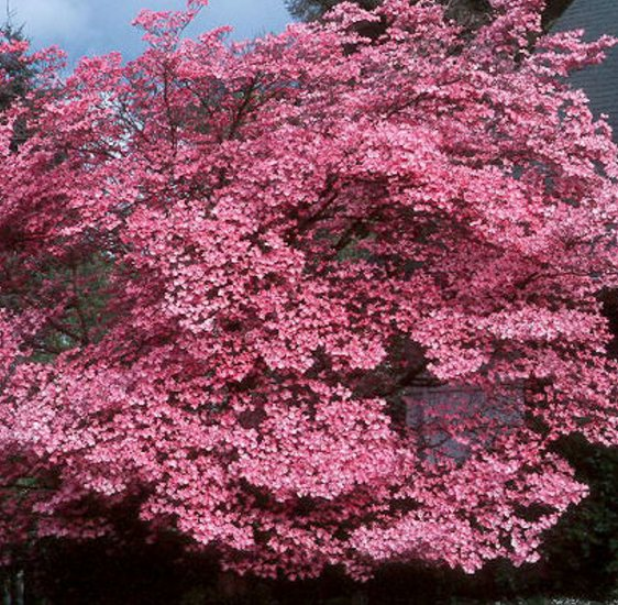 pink flowering dogwood cornus florida rubra bulk 100 seeds. Black Bedroom Furniture Sets. Home Design Ideas