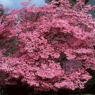 PINK FLOWERING DOGWOOD cornus florida rubra BULK 100 seeds