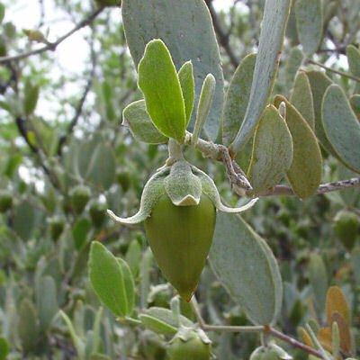 BULK JOJOBA Simmondsia chinensis 500 seeds