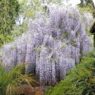 Wisteria sinensis Chinese wisteria vine BULK 1000 seeds