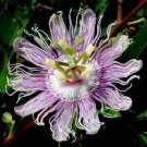 PASSIFLORA incarnata Maypop fruit vine 50 seeds