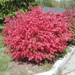 CORKED BURNING BUSH Euonymus alatus 50 seeds