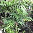 BULK CHAMAEDOREA MICROSPADIX cold hardy BAMBOO PALM 500 seeds