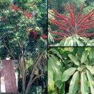 Schefflera Actinophylla, Umbrella Tree, Octopus plant BULK 1500 seeds