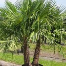 WINDMILL PALM Trachycarpus fortunii cold hardy 10 seeds