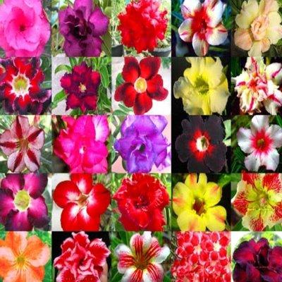 DESERT ROSE  ADENIUM OBESUM Bonsai mixed colors 100 seeds