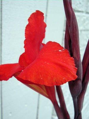 Canna Australia 10 fresh  rhizomes