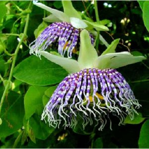 PASSIFLORA ACTINIA edible fruits rare 50 seeds