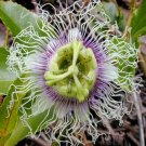 PASSIFLORA EDULIS Purple passion vine  50 seeds