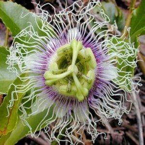 BULK - PASSIFLORA EDULIS Purple passion vine 500 seeds