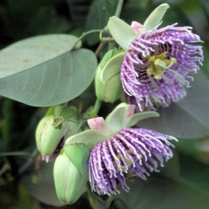 PASSIFLORA LIGULARIS Sweet grenadilla 500 seeds